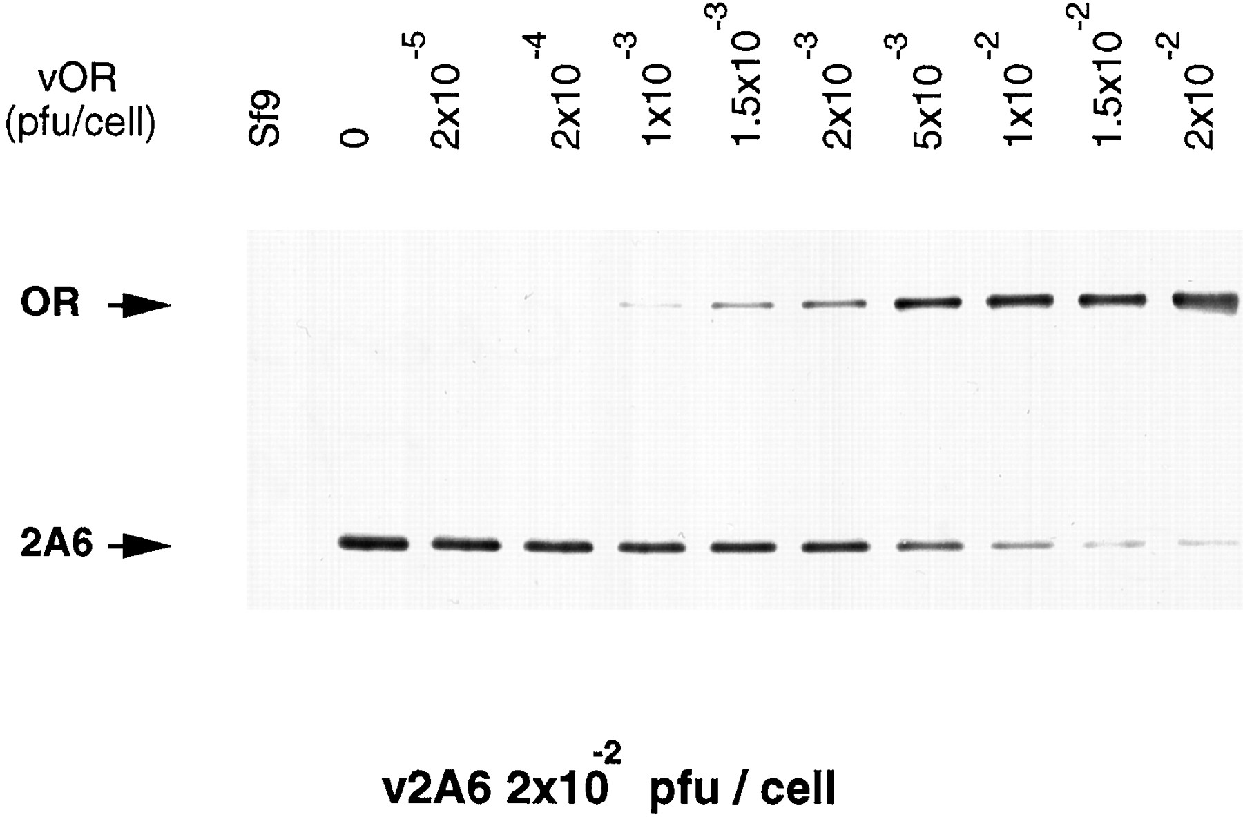Coexpression of Cytochrome P4502A6 and Human NADPH-P450
