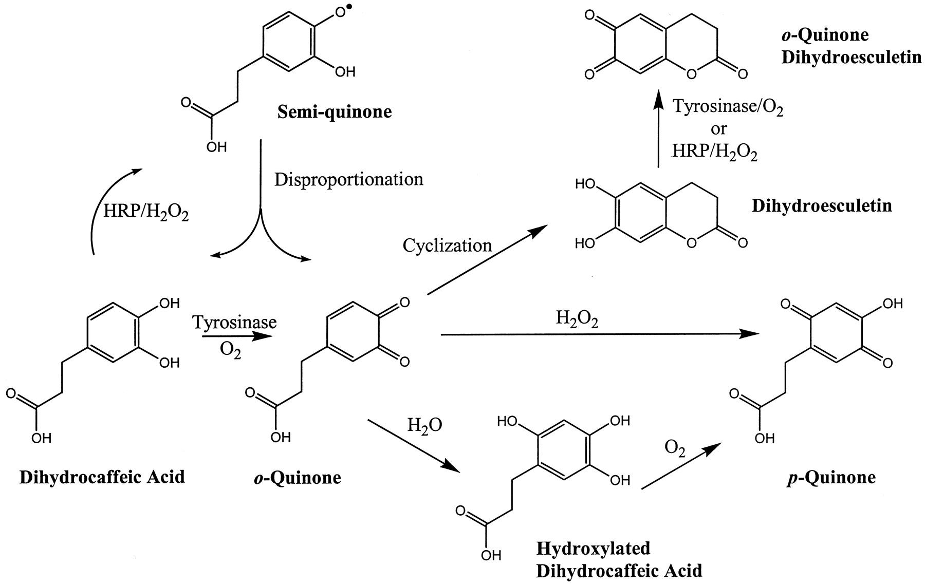 Αποτέλεσμα εικόνας για p-quinones of CA or CGA