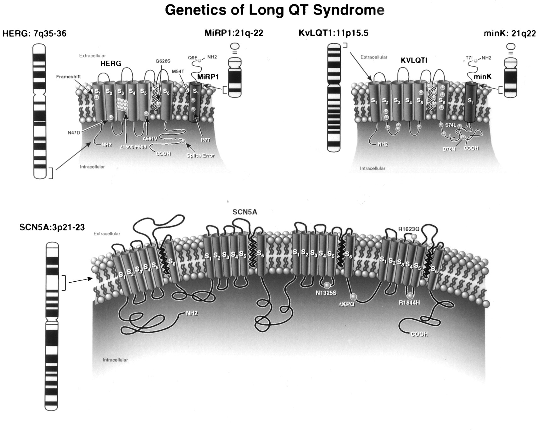 Genotype and Severity of Long QT Syndrome   Drug Metabolism ...