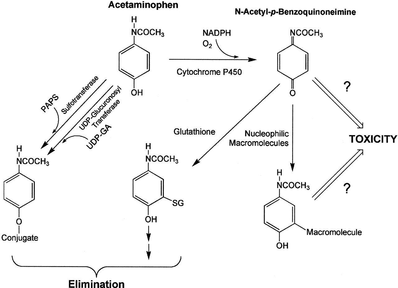 Acetaminophen metabolism in recovering alcoholics and dating