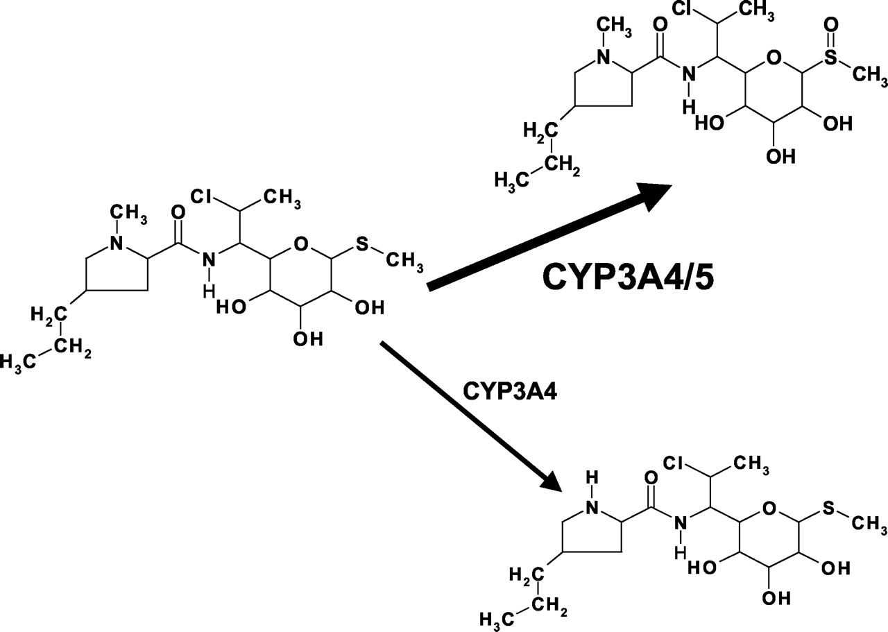 In Vitro Metabolism Of Clindamycin In Human Liver And Intestinal