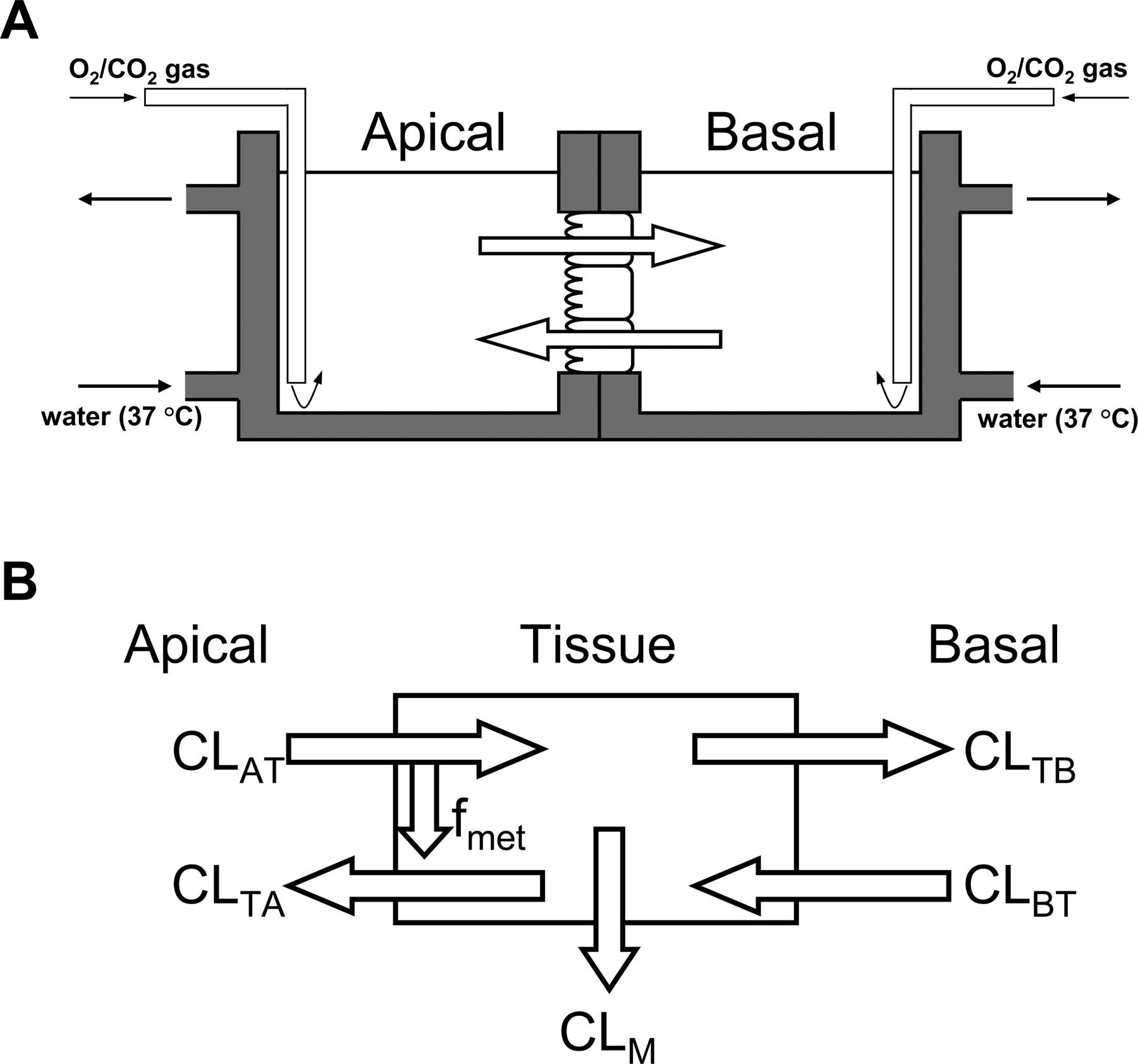 Asymmetric Intestinal First Pass Metabolism Causes Minimal
