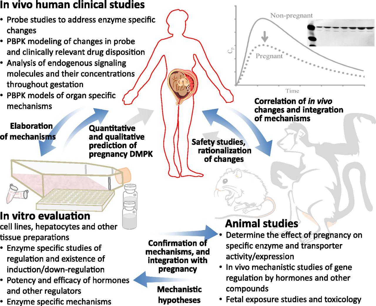 Drug Metabolism and Transport During Pregnancy: How Does