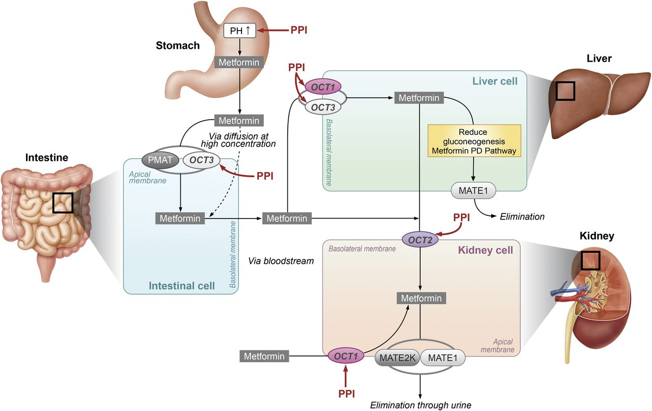 Effects Of Proton Pump Inhibitors On Metformin Pharmacokinetics And