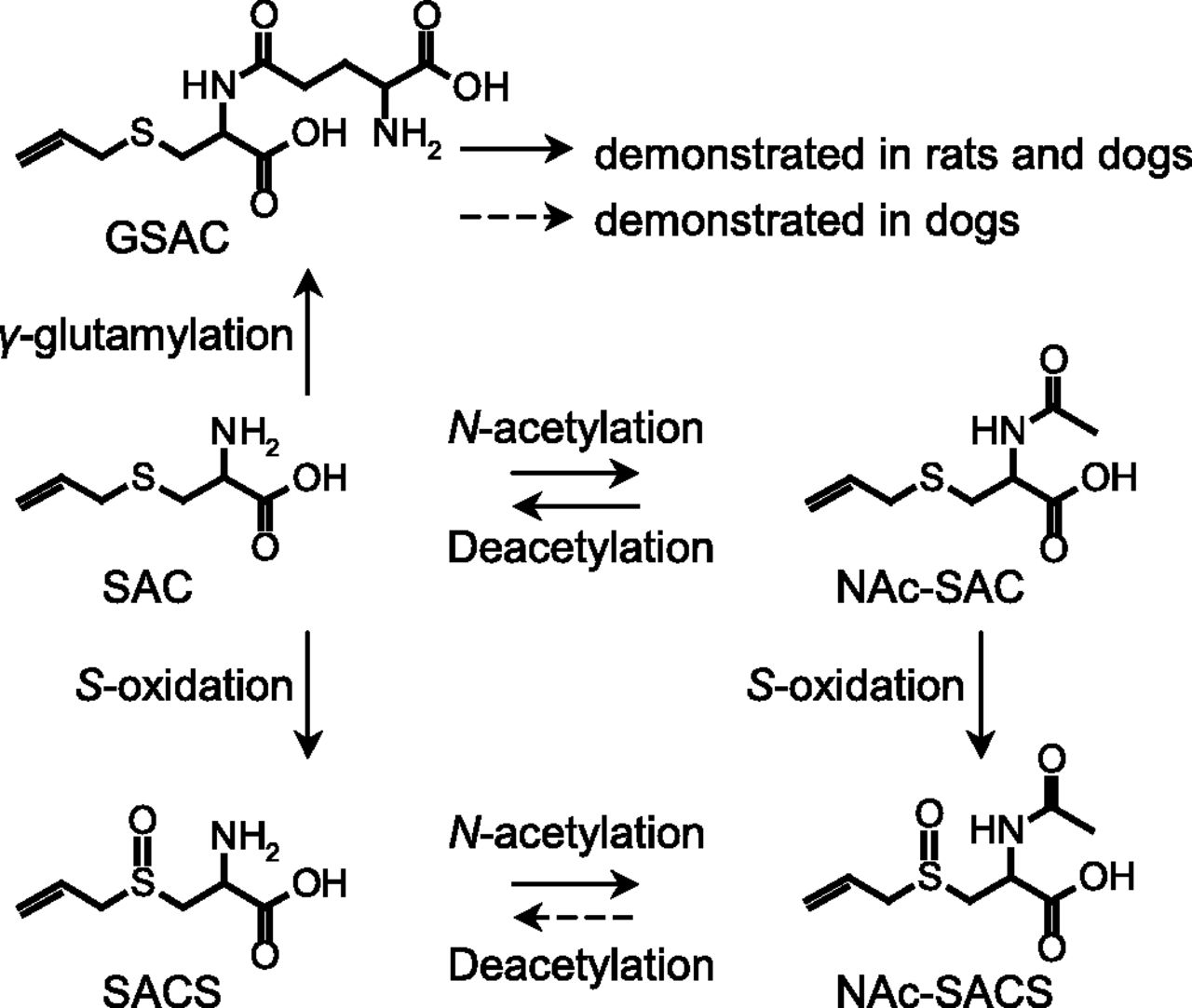 Metabolism, Excretion, and Pharmacokinetics of S-Allyl-l-Cysteine in