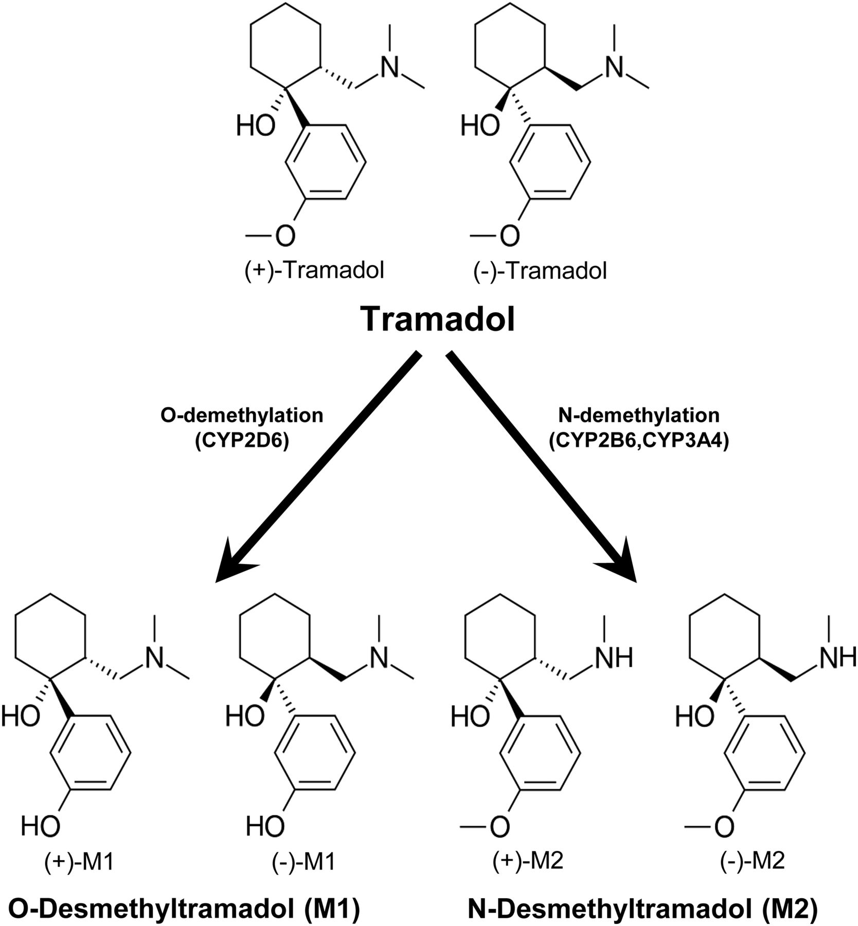 Tramadol metabolism to o desmethyl tramadol m1 and n desmethyl download figure ccuart Gallery