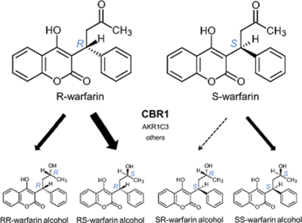 Stereospecific Metabolism of R- and S-Warfarin by Human
