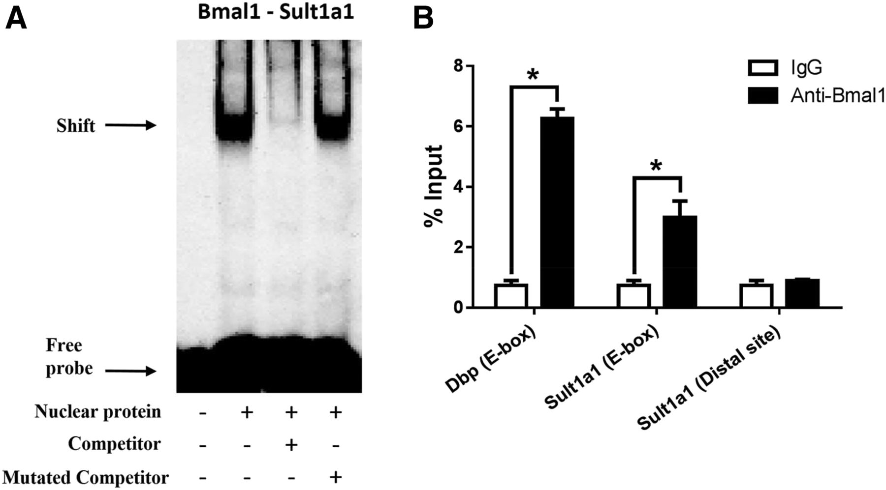 The Clock Protein Bmal1 Regulates Circadian Expression and