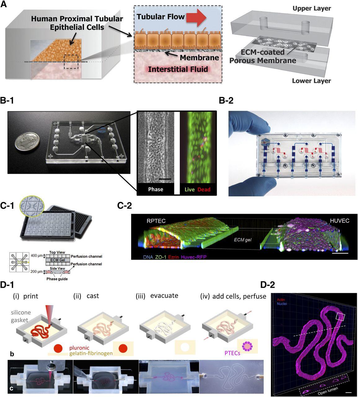 Emerging Kidney Models to Investigate Metabolism, Transport